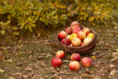 Organische Frucht im Garten Stockbild