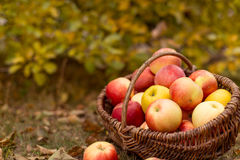Organische Frucht im Garten Lizenzfreies Stockbild