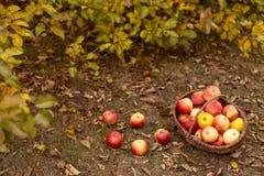 Organische Frucht im Garten Lizenzfreie Stockbilder