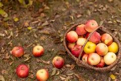 Organische Frucht im Garten Stockfotos