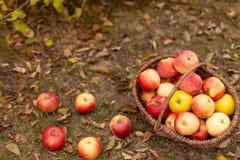 Organische Frucht im Garten Lizenzfreie Stockfotografie