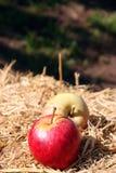 Organische Gala und Fuji-Äpfel Lizenzfreie Stockfotografie