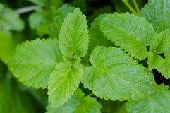Organische Gartenarbeit der marokkanischen tadellosen Teepflanzegrün-Güte lizenzfreies stockbild