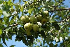 Organische geëtiketteerdek appel Royalty-vrije Stock Afbeeldingen