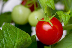 Organische gekweekte rode rijpe tomaat op een wijnstok Royalty-vrije Stock Afbeelding