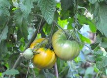 Organische gelbe oxheart Tomaten Stockbilder