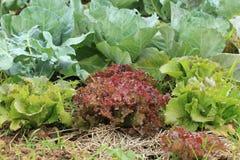 Organische Gemüsebauernhöfe Stockfoto