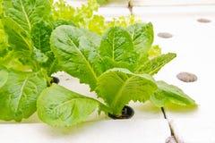 Organische Gemüsebauernhöfe für Hintergrund. Lizenzfreie Stockfotos