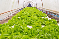 Organische Gemüsebauernhöfe für Hintergrund. Stockbild