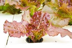 Organische Gemüsebauernhöfe für Hintergrund. Lizenzfreies Stockfoto