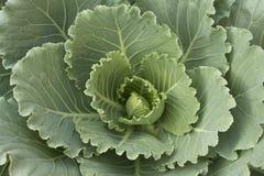 Organische Gemüsezucht Stockbild