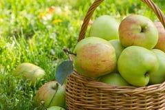 Organische grüne Äpfel in einem weacker Korb auf dem grünen Gras, Nahaufnahme Lizenzfreies Stockfoto