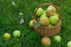 Organische grüne Äpfel in einem Weidenkorb Stockfotografie