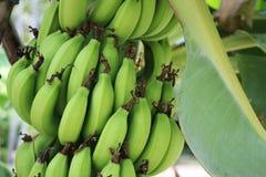Organische grüne Farbe der Bananen auf der Baumhintergrundlandwirtschaft frisch Stockfoto