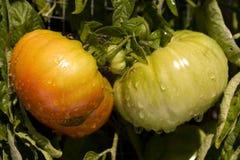 Organische grüne frische Tomate Stockbilder