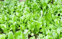 Organische Grüns lizenzfreie stockbilder