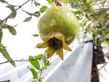 Organische granaatappel stock foto