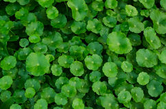 Organische groene Groenten Royalty-vrije Stock Fotografie