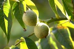 Organische groene okkernoten op een boom Stock Fotografie