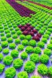 Organische groene van de slainstallaties of salade groentecultuur in r stock foto's