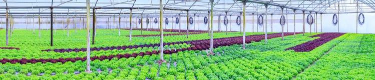Organische groene van de slainstallaties of salade groentecultuur in r stock fotografie