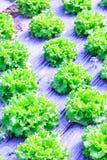 Organische groene van de slainstallaties of salade groentecultuur in r royalty-vrije stock fotografie
