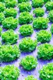 Organische groene van de slainstallaties of salade groentecultuur in r royalty-vrije stock afbeeldingen