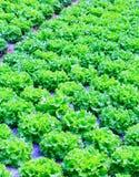 Organische groene van de slainstallaties of salade groentecultuur in r royalty-vrije stock foto's