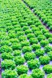 Organische groene van de slainstallaties of salade groentecultuur in r stock foto