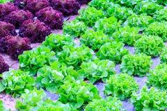 Organische groene van de slainstallaties of salade groentecultuur in r royalty-vrije stock foto