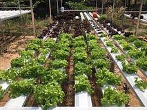 Organische groente Royalty-vrije Stock Afbeeldingen