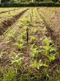 Organische groenten. Stock Foto's
