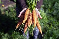 Organische groenten Verse ongewassen wortelen in de handen van vrouwenlandbouwers Oogstende Wortelen stock foto