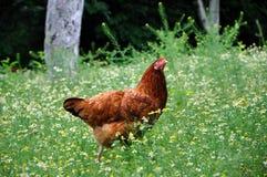 Organische Hühnerlandwirtschaft Die Henne geht das Feld von Gänseblümchen Rot Stockfotografie