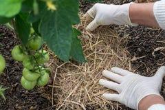 Organische het met mulch bedekken tomaten Stock Afbeeldingen