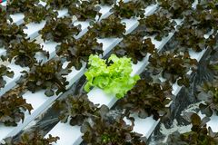 Organische hydroponic groente Stock Foto