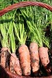 Organische Karotte vom ländlichen permaculture Stockbilder