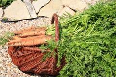 Organische Karotte vom ländlichen permaculture Stockfotos