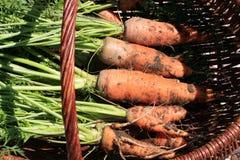 Organische Karotte von ländlichem permaculture I Stockbilder