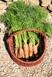 Organische Karotte von ländlichem permaculture I Lizenzfreie Stockbilder