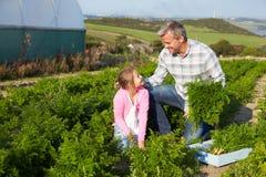 Organische Karotten-Ernte Landwirt-With Daughter Harvestings auf Bauernhof stockfoto