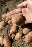 Organische Kartoffel Stockfoto