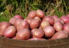 Organische Kartoffeln Stockbilder