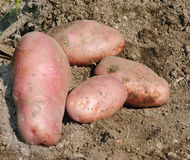 Organische Kartoffeln Stockfotos