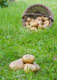 Organische Kartoffeln im Gras Stockfotos