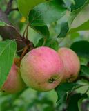 Organische Kastanien-Holzäpfel auf Baum Lizenzfreies Stockbild