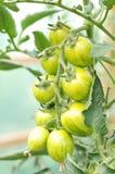 Organische Kirschtomaten auf der Rebe Stockfoto