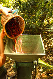 Organische koffiebonen. Stock Fotografie