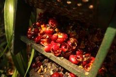 Organische koffiebonen. Royalty-vrije Stock Foto