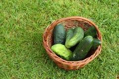 Organische komkommers Stock Afbeeldingen